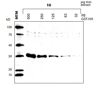 Hemagglutinin (HA)抗體